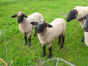 2 PUREBRED SUFFOLK SHEEP LAMBS, 1 RAM, 1 EWE