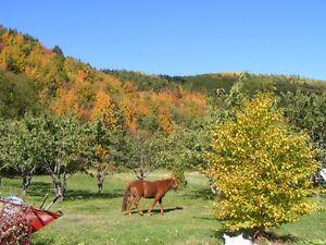 Cheval CANADIEN  roux