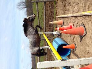 Pony Jumper Gelding For Lease
