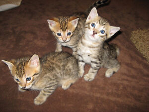 Beautiful Bengal Cubs For sale