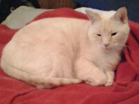 LOST RED SIAMESE IN AIRDRIE
