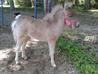 Grey Appaloosa Miniature Filly for Sale