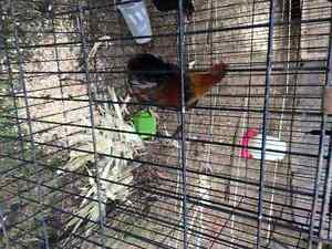 1 rooster 1 hen 3 months old make a offer Peterborough Peterborough Area image 3