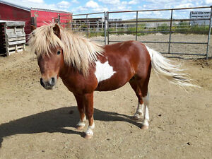 Registered Miniature Horse For Sale