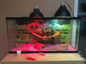 Bearded dragon for rehoming