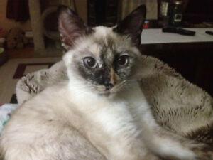 Purebred siamese cat
