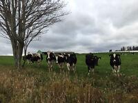 Part-time dairy milker