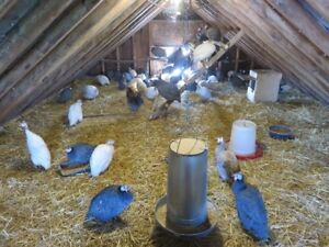Guinea Fowl and hatching eggs for sale