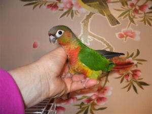 Sweet baby conure