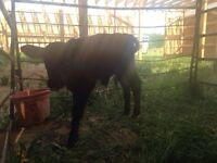 Bull calf for sale
