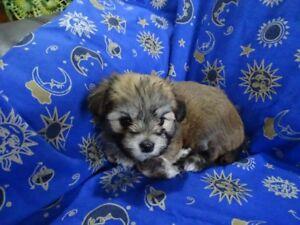 ckc purebred havanese pups for sale