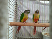 Hand raised super friendly YELLOW SIDED/CINNAMON CONURE BABIES