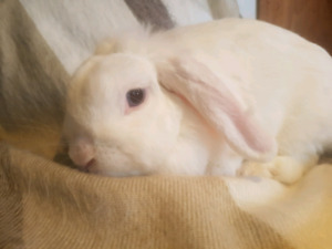 Female Holland Lop Bunny Rabbit for adoption!