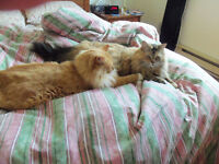 2  chat MAIN COON a vendre