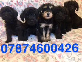 Gorgeous Schnoodle Puppies For Sale