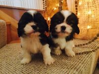 Shitzu Cross/King Charles Puppies For Sale