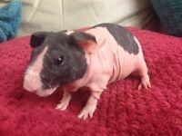 Guinea pig (Skinny)