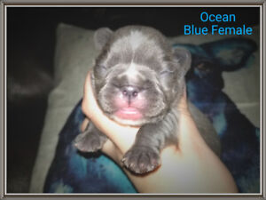 French Bulldogs Puppies (fawns, black and cream)
