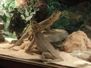Two bearded dragons male and female for sale