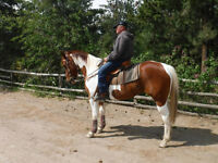 7 year old Paint Quarter Horse for sale