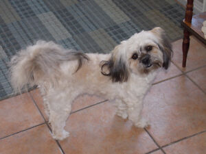 Looking for a SHIH-POO boyfriend for our Fur Daughter in WINDSOR