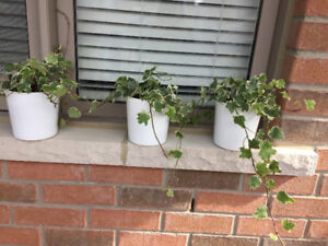 English Ivy plants for indoor or outdoor, $5 each
