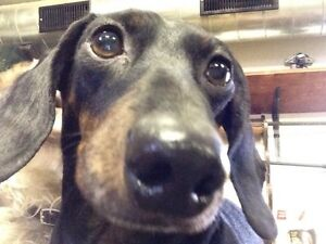 Dachshund looking for love