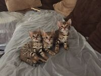 BENGAL KITTENS PURE PEDIGREE