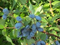 !!!SUPERFRUIT HONEYBERRIES READY FOR HARVEST!!!