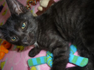 """Kitten """"George Strait"""" is available for adoption!"""