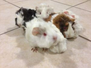 Adorably Cute Baby Guinea Pigs