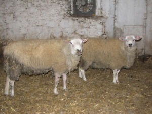 Texel Rams For Sale