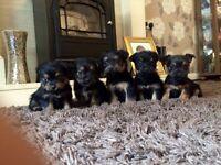 Border terrier x Mini Yorkshire terrier