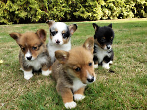 Adopt Dogs & Puppies Locally in Greater Vancouver Area