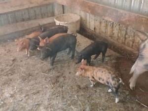 Piglets for sale