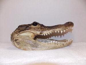Tete de crocodile a vendre