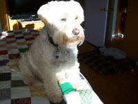 Wanted :Wheaton Terrier Male pup