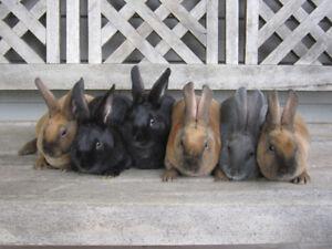 Beautiful Mini Rex/ Californian bunnies