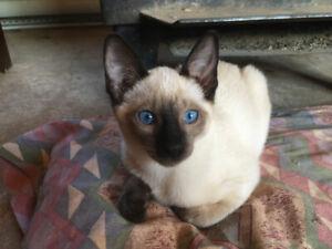 Siamease Kitten