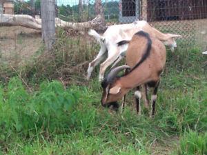 Alpine Billy Goat