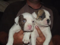 Registered American Bulldog puppies