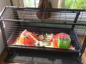 Two male affectionate Guinea pigs for rehome
