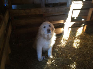 Great Pyrenees/Collie puppies for sale.