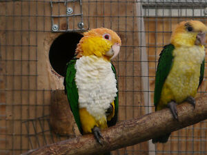 WHITE BELLIED CAIQUE PROVEN BREEDER FEMALE