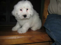 Tibetan Terrier Puppies for sale
