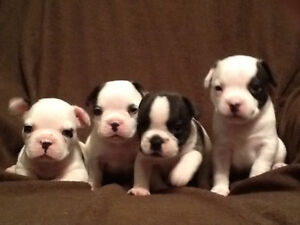 ~~Pure French Bulldog Puppies~~