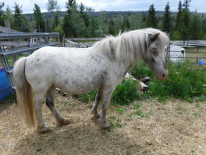 Trade registered Miniature horses to good homes