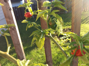 Trinidad Moruga full grown pepper tree hottest in the world West Island Greater Montréal image 2