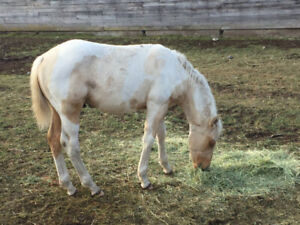 Athletic APHA Yearling