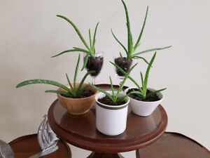 ALOE PLANTS in CHINA TEA CUPS & CRYSTAL GLASSES  - VERY HEALTH